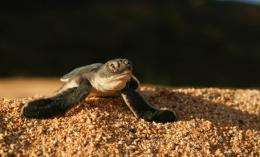 'Heat-proof' eggs help turtles cope with hot beaches