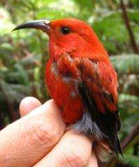 How do native Hawaiian birds survive in a fragmented forest?