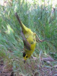 How safe is mist netting? First large-scale study into bird capture technique evaluates the risks