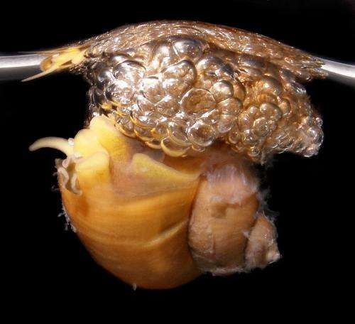 In bubble-rafting snails, the eggs came first