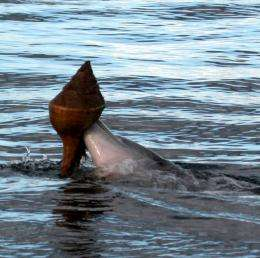 Ingenious fishing method may be spreading through dolphins