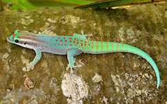 Invasive night geckos outcompete local day geckos