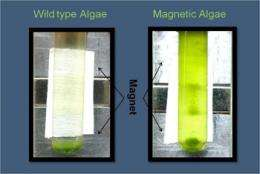 LANL develops first genetically engineered 'magnetic' algae