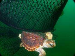 Loggerhead turtle near fishing nets