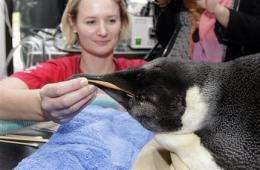 Lost penguin more lively, eating fish post-surgery (AP)
