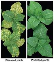 Major breakthrough on how viruses infect plants