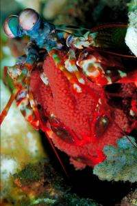 Mantis Shrimp Eye Could Improve High-Definition CDs, DVDs
