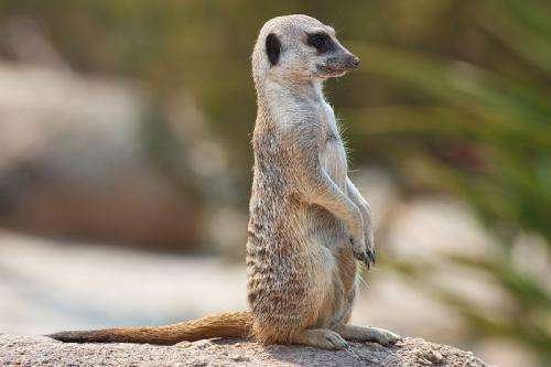 Meerkats have ability to distinguish different voices