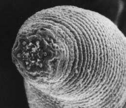 Halicephalobus mephisto