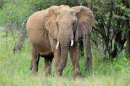 More than 50 percent decline in elephants in eastern Congo due to human conflict