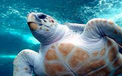 Movements of thousands of loggerhead turtles 'predictable'
