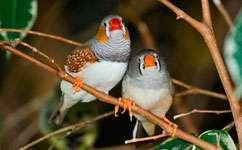 Mummy's boys exist in bird families too