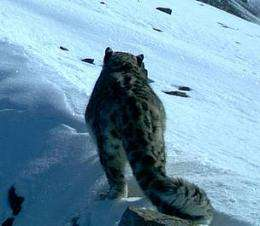 Never before seen Russian snow leopards caught on camera