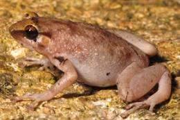 New boulder frog discovered