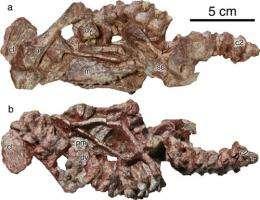 New captorhinid reptile found in China