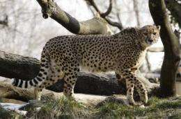 New discovery positions Smithsonian to bolster genetic diversity among cheetahs