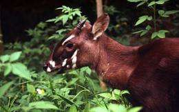 New hope for survival for elusive saola