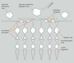 New microscope decodes complex eye circuitry