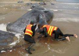 Officials were able to return two whales to open waters last weekend, but the final death toll from the stranding was 26