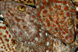 Philippine authorities seized a haul of about 2,000 live geckos as part of a campaign to protect the lizard