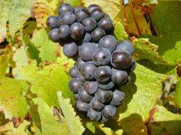 Pinot noir grapes reveal 700-year climate record