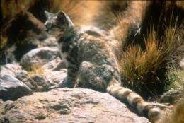 Rare Andean cat no longer exclusive to the Andes