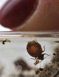 Research: Bedbugs can thrive despite inbreeding (AP)