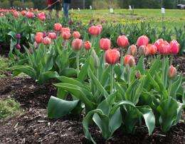 Researcher offers toil-free tip to plant tulips