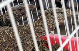 Seized monitor lizards in a cage