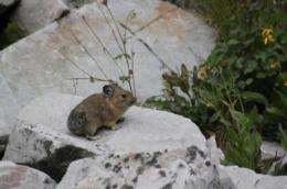 Southern Rocky Mountain pikas holding their own, assessment says