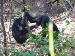 Study finds savanna chimps exhibit sharing behavior like humans