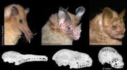 Studying bat skulls, evolutionary biologists discover how species evolve