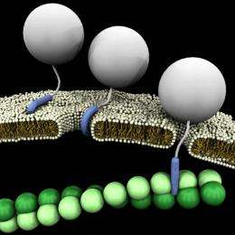 Study shows cell-penetrating peptides for drug delivery act like a Swiss Army Knife