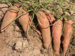 Sweetpotato foundation seed tested in commercial operations