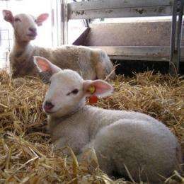 The ewe can mitigate adverse experiences in her lambs