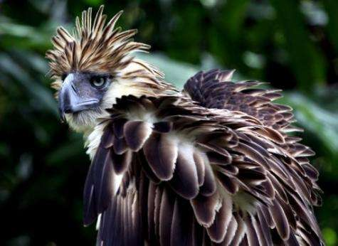 The giant forest-dwelling Philippines eagle is considered one of the largest and most powerful eagles in the world