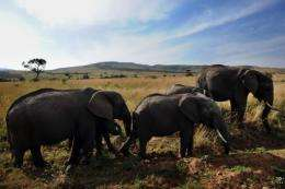 The Kenya Wildlife Service plans to move 200 elephants in all