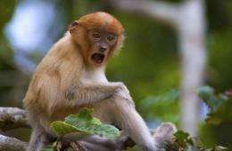 The proboscis monkey, which is named for its distinctive large and fleshy nose, is found only on Borneo