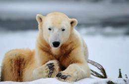 The world's most famous polar bear Knut has died unexpectedly