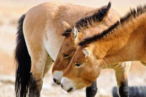 This ancient species known as Przewalski's wild horse has narrowly avoided extinction thanks to zoos worldwide