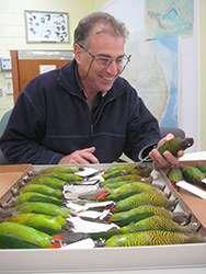 Tiger-parrots show their true evolutionary stripes