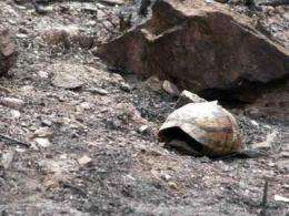 Tortoise populations can withstand fires every 30 years
