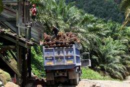 Virgin forests are typically cleared to make way for palm plantations that stretch to the horizon