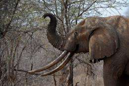 Wildlife watchdog TRAFFIC has said the global illegal ivory trade has grown since 2004