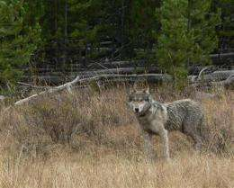 Wolves to come off endangered list within 60 days (AP)