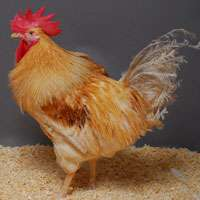 GM chickens that don't transmit bird flu developed