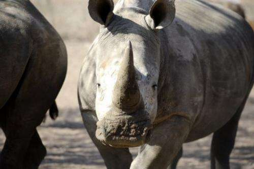 An adult white rhino pictured at the Entabeni Safari Conservancy north east of Johannesburg in July 31, 2012