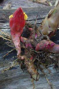 A new wild ginger discovered from the evergreen forest of Western Ghats of South India