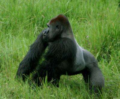 Bigger gorillas better at attracting mates and raising young