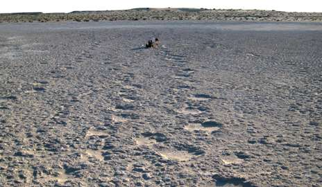 Desert footprints reveal ancient origins of elephants' social lives